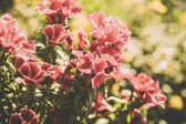 Petunia flowers in the garden. Toned picture — Stock Photo