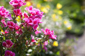 Petunia flowers in the garden.  — Stock Photo