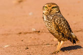 A beautiful owl in the desert. This Owl makes holes in the ground and leaves hunting little animals like insects and rats. — Stock Photo