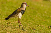 The southern lapwing is a wader in the order Charadriiformes. It is a common and widespread resident throughout South America — Stock Photo