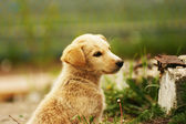 Smetanové štěně pes sedí trávě — Stock fotografie