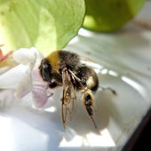 Bee pollinate — Stock Photo