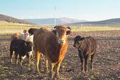 Oxen — Stock Photo