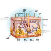 Células de piel humana — Vector de stock