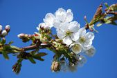 Flowering cherry tree in spring — Stock Photo