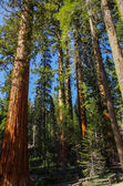 Yosemite National Park - Forest of Giants Sequoia — Stock Photo