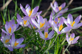 Woodland Crocus — Stock Photo