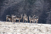 Deer gather in a snowy meadow in Upstate New York — Foto de Stock