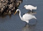 Feeding Egrets — Stock Photo