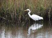 Snowy Egret on the Prowl — Stock Photo