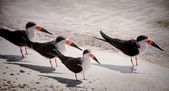 Black Skimmers — Stock Photo
