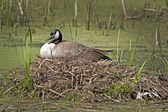 Nesting Time — Stock Photo