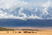 Orses graze in the background of mountains — Stock Photo