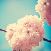 Vintage Cherry Blossoms — Stock Photo