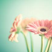 Pale Pink gerberas — Stock Photo