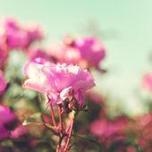 Vintage Pastel Roses — Zdjęcie stockowe