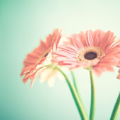 Pale Pink Gerberas — Stock Photo