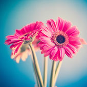 Pink gerberas — Stock Photo
