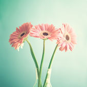 Pale Pink gerberas — ストック写真