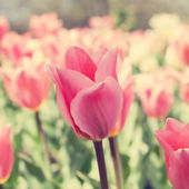 Colorful Spring Tulips — Stock Photo