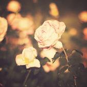复古玫瑰 — 图库照片