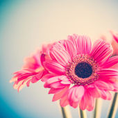 Gerberas rose — Photo
