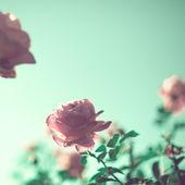 Rosas de la vendimia — Foto de Stock