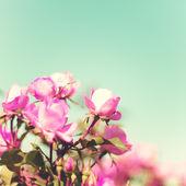 Vintage Pastel Roses — Stock Photo