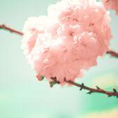 Vintage Cherry Blossoms — Stock Photo