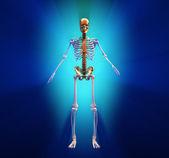 Human skeleton — Stock Photo