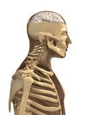 Skeleton and brain  — Stock Photo
