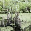 Постер, плакат: Group Of Cypress Tree Stumps On Wetland