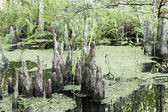 Group Of Cypress Tree Stumps On Wetland — Stock Photo