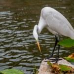 ������, ������: Egret on San Antonio Riverwalk