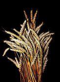 Zlaté obilí — Stock fotografie