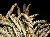 Golden grain — Stock Photo