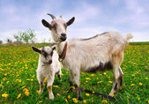 Landscape with a goat and kid — Stockfoto