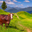 Cattle on a mountain pasture. — Stock Photo #50885831