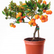 Small citrus tree in the pot — Stock Photo #50887287