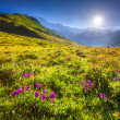 Blooming pink flowers in the Caucasian mountains. — Stock Photo #50889047