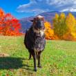 Sheep on pasture in the mountains — Stock Photo #50889049