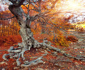 Huge beech in the autumn forest. — Stock Photo