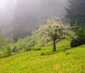 Apple tree in the mountains — Stock Photo