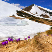 Crocuses bloom in  mountains — Stock Photo