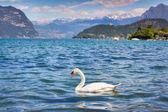 White swan on Lake Iseo — Stock Photo
