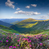 Pink rhododendron flowers on summer mountain — Stockfoto
