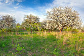 Blooming apple trees in the garden — Stock Photo