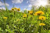 Flowering dandelions — Stock Photo