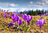 Blossom of crocuses — Stock Photo