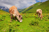 Cattle on a mountain pasture — Stock Photo